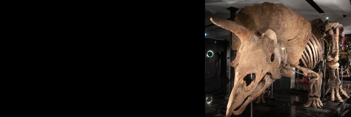 VENTE CE JOUR ! BIG JOHN, Le plus grand tricératops du monde